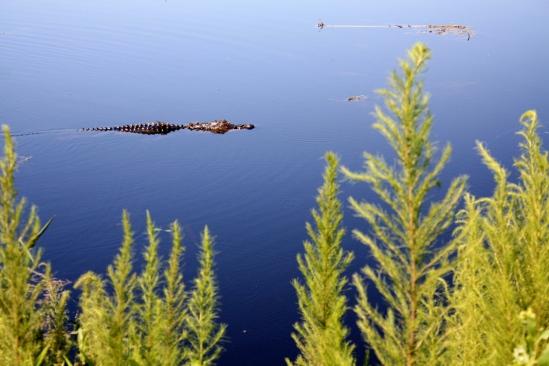 Gator swimming near the trail