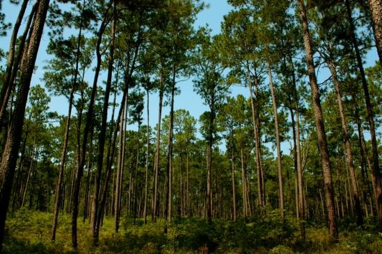 San Felasco pines