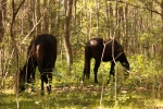 Florida Cracker Horses 3
