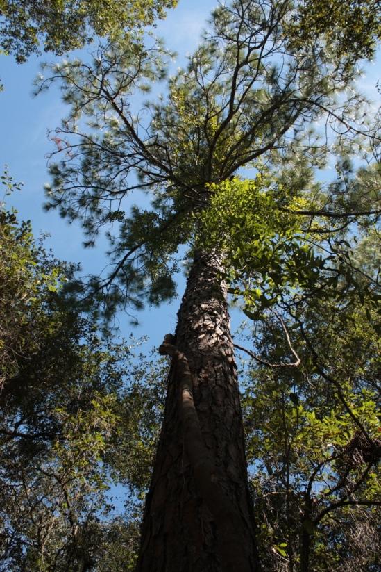 Huge old tree