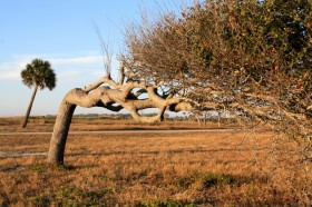 The effects of the Gulf breeze on young trees.