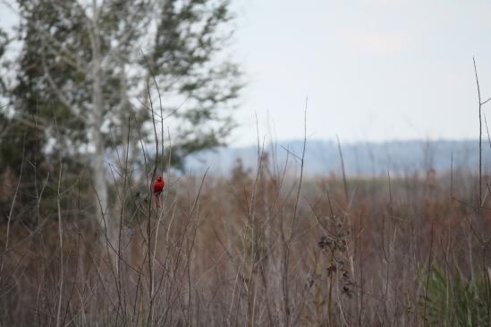 Cardinal-Paynes-Prairie